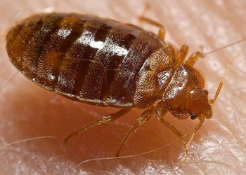 Bed Bugs inside a Woodbury house
