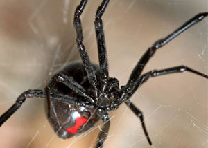 Black Widow Spiders in Palmer